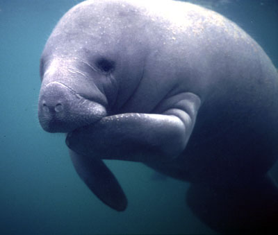 http://voicesofglass.files.wordpress.com/2012/01/the-manatee-a-symbol-of-peace-tranquility-and-effeminate-wonder.jpg