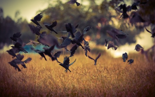 Birds-Crows-Field-Nature-Photo